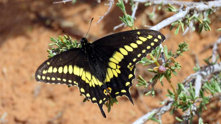 """Papillon du céleri"" (black swallowtail)"