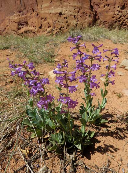 Penstemon secundiflorus